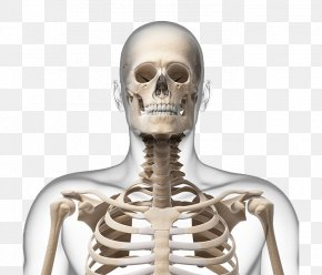 Human Skeleton Picture - Human Skeleton Neck Bone Skull PNG