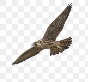 Flying Mottled Falcon - Peregrine Falcon PNG