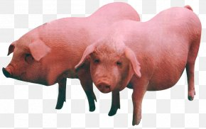 Pig - Large White Pig Duroc Pig Middle White Beef Cattle Livestock PNG