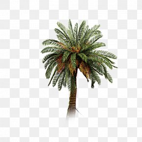 A Coconut Tree - Date Palm Coconut Tree Arecaceae PNG