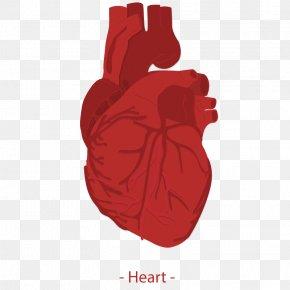 Vector Human Heart - Heart Euclidean Vector Homo Sapiens Icon PNG