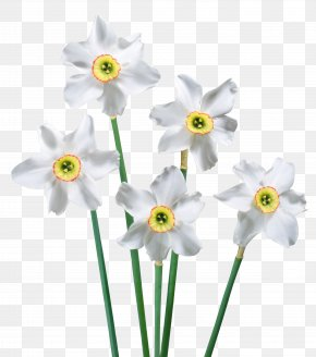 Spring White Daffodils Picture - Flower Clip Art PNG