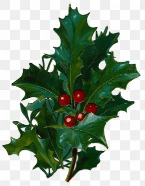 Christmas - Aquifoliales Common Holly Christmas Greeting & Note Cards CafePress PNG