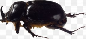 Bug Image - Coffee Borer Beetle Bark Beetle PNG