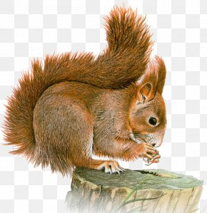 Sky Squirrel - Eastern Gray Squirrel Red Squirrel Clip Art PNG