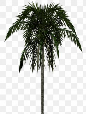 Palm Tree - Arecaceae Tree 3D Modeling PNG