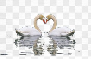 One Pair Of Swans On The Lake - Cygnini Swan Lake PNG