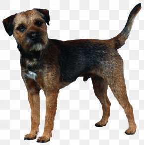 Puppy - Border Terrier Cairn Terrier Boston Terrier Norfolk Terrier Rottweiler PNG