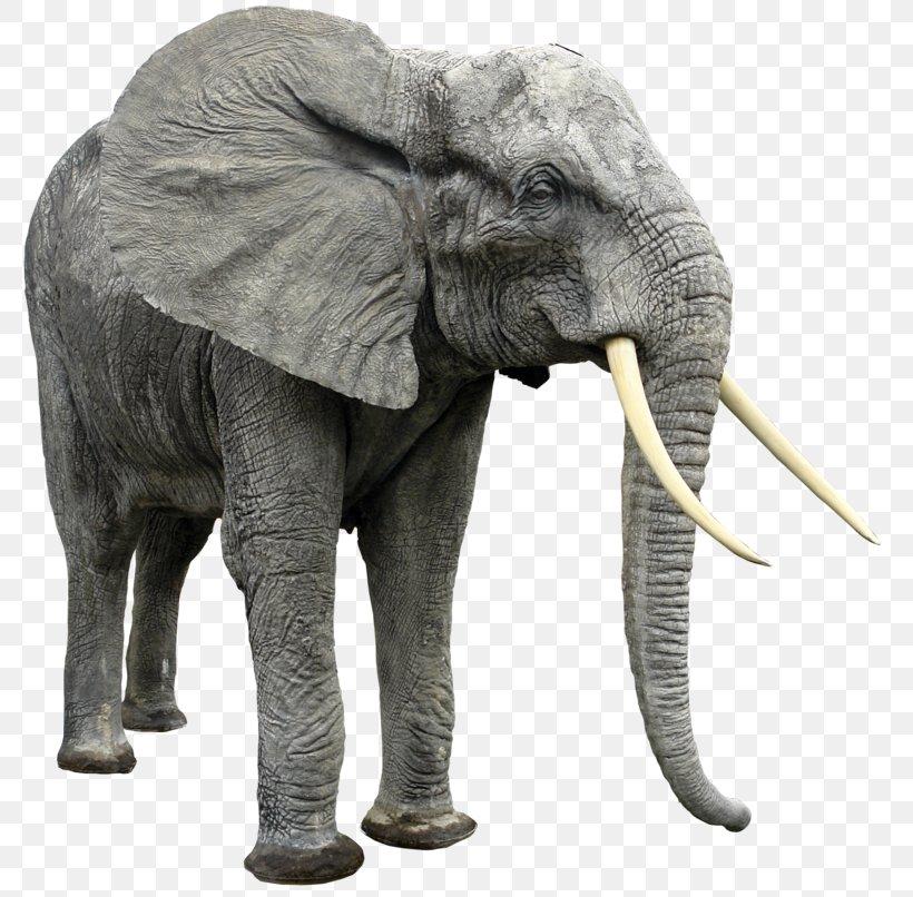 African Bush Elephant Indian Elephant African Forest Elephant, PNG, 800x806px, African Bush Elephant, African Elephant, African Forest Elephant, Animal, Asian Elephant Download Free