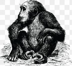 Chimpanzee - Chimpanzee Gorilla Ape PNG