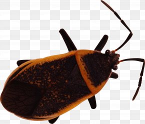 Bug Image - Bed Bug Insect Chinese Translation English PNG
