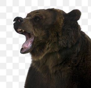 Roaring Brown Bear - Brown Bear Grizzly Bear McNeil River Stock Photography PNG