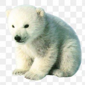 The Real Cute Polar Bear Bear Free Matting - Polar Bear Brown Bear Cuteness Pizzly Grizzly Bear PNG