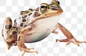 Frog - Frog Icon PNG