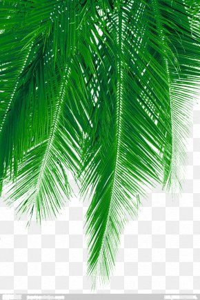 Fresh Coconut Leaves Picture Material - Arecaceae Leaf Green PNG