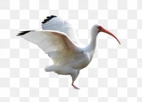 Flying Crane - Flight Bird Crane Goose Ibis PNG