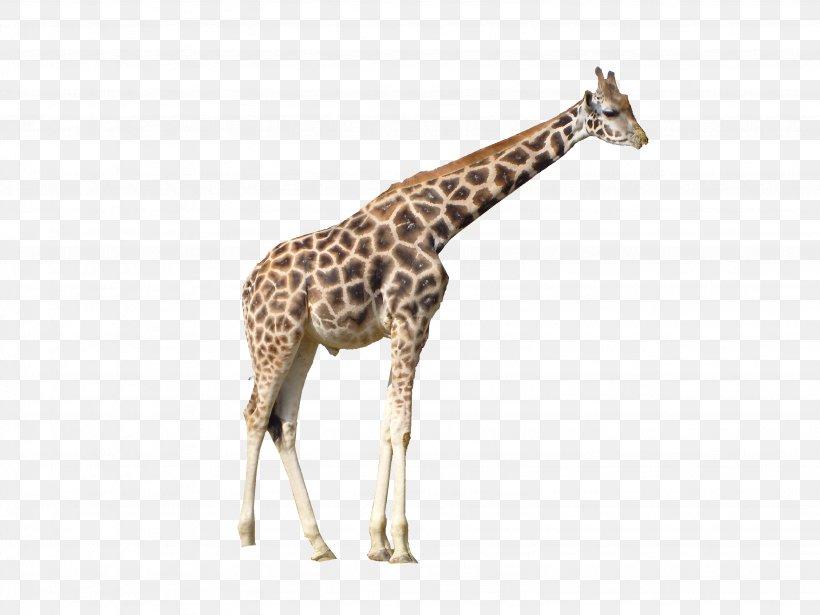 Giraffe Clip Art, PNG, 3072x2304px, Giraffe, Display Resolution, Fauna, Giraffidae, High Definition Video Download Free