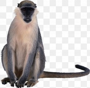 Monkey - Macaque Primate Old World Monkeys Clip Art PNG