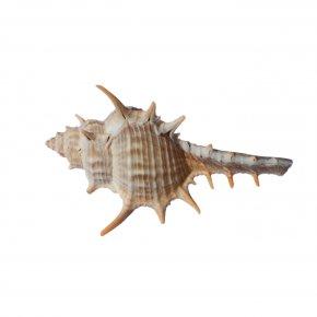Conch - Invertebrate Seashell Fauna Organism Conch PNG