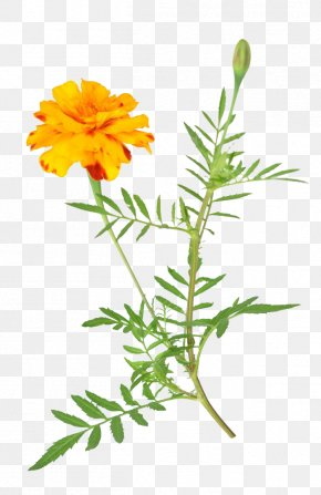 African Marigold Free Download - Mexican Marigold Flower Stock Photography Dahlia PNG