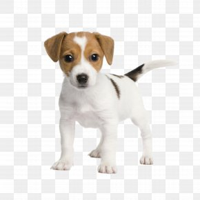 Puppy - Jack Russell Terrier Miniature Fox Terrier Bull Terrier Chihuahua Rat Terrier PNG