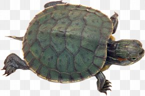 Turtle - Turtle Pet Tortoise Reptile Red-eared Slider PNG