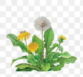 Dandelion - Tea Bag Dandelion Coffee Organic Food Coffee Substitute PNG