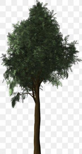 Tree - Mediterranean Cypress Evergreen Tree PNG