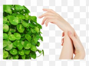 Skin Care To Share - Centella Asiatica Extract Skin Medicinal Plants Cellulite PNG