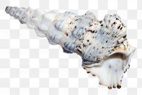 Ocean Sea Shell - Seashell PNG