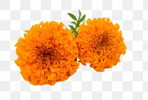 Marigold HD - Marigold Calendula Officinalis Clip Art PNG