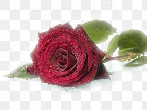 L'amore E - Rose Wedding Flower Desktop Wallpaper Birthday PNG