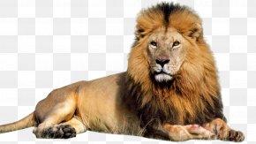Lion - Lion Computer File PNG