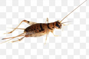 Cricket - Cricket Insect Cockroach PNG