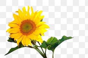 Sunflower - Murder Of Allison Baden-Clay Photographic Film Common Sunflower Kodak Court PNG