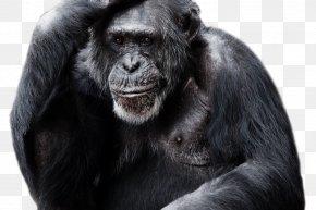 Gorilla - Gorilla Chimpanzee Clip Art Transparency PNG