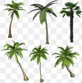 Palm Tree - Arecaceae Flowering Plant Tree Drawing PNG