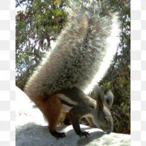 Squirrel - Fox Squirrel Tufted Ground Squirrel Sciurini Oriental Giant Squirrel PNG