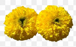 Yellow Chrysanthemum - Mexican Marigold Calendula Officinalis Flower Chrysanthemum Floriculture PNG