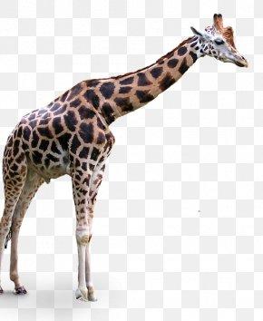 Giraffe Cartoon - Clip Art Transparency Northern Giraffe Image PNG