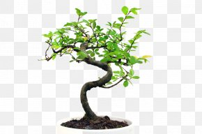 Bonsai - Communication Bonsai Event Planning Akadama Sageretia Theezans PNG