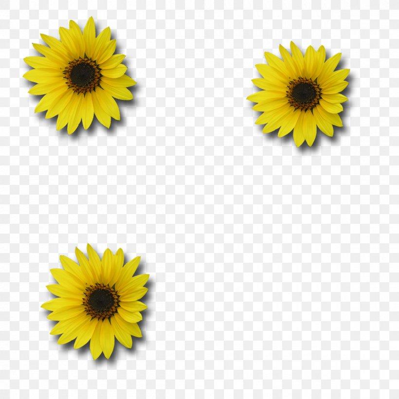 Sunflower Digital Photo