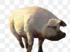 Pig - Domestic Pig Clip Art PNG