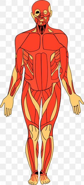 Human Anatomy Cliparts - Anatomy Of The Human Body Human Anatomy Clip Art PNG