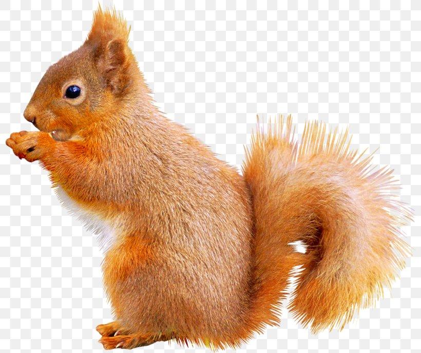Fox Squirrel Animal Icon, PNG, 800x687px, Squirrel, Animal, Cartoon, Concepteur, Cuteness Download Free