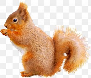 Cute Squirrel - Fox Squirrel Animal Icon PNG