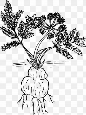 Parsley - Woody Plant Line Art Drawing Lomatium Cous PNG