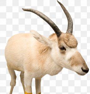 Tibetan Antelope Claw - Tibetan Antelope PNG