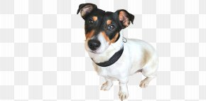 Miniature Fox Terrier Dog Breed Rat Terrier Jack Russell Terrier Companion Dog PNG