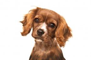 Puppy - Cavalier King Charles Spaniel English Cocker Spaniel Field Spaniel Cavapoo PNG